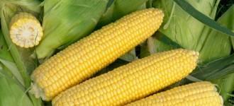 Кукуруза (початок и семена)