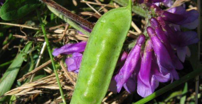 Семена вики озимой Глинковская