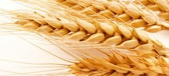 Семена озимой пшеницы Таня, Тимирязевка-150, Юбилейная-100, Юка