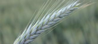 Семена озимого тритикале Тихон на зерно и зеленую массу