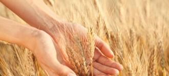 Семена озимой пшеницы Алексеич, Ахмат, Безостая-100, Гром, Еланчик, Юка  и др