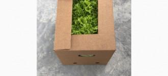 Предлагаю салат листовой Афицион, Вологодская обл