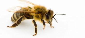 Пчелы живые для апитерапии, Санкт-Петербург
