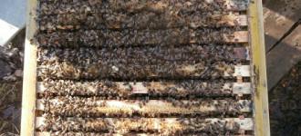 Серые горные кавказские пчёлы (кавказянки) пчелопакеты и пчелосемьи (уже в С-Петербурге), Санкт-Петербург