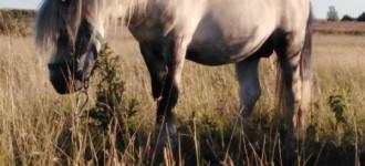 Продается пони жеребец