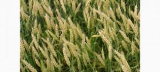 Семена озимой пшеницы сорт Гром РС1, Ростовская обл