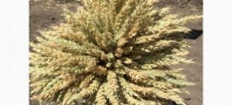 Семена озимой мягкой пшеницы сорт Алексеич ЭС/РС1, Ростовская обл