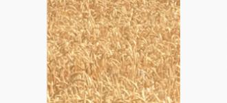 Семена озимой мягкой пшеницы Капризуля ЭС, Ростовская обл