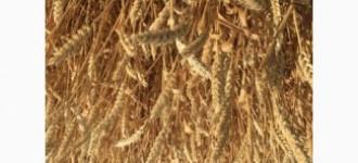 Продаю семена озимой пшеницы сорт Аксинья ЭС, Ростовская обл