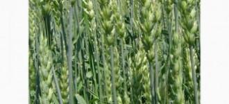 Семена озимой мягкой пшеницы сорт Таня РС1, Ростовская обл