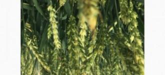 Семена озимой мягкой пшеницы сорт Лилит ЭС/РС1, Ростовская обл