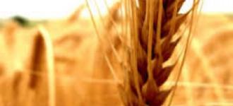 Семена озимой мягкой пшеницы сорт Танаис ЭС/РС1/РС2, Ростовская обл