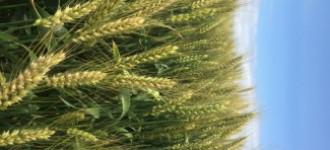 Семена озимой мягкой пшеницы сорт Станичная ЭС/РС1/РС2, Ростовская обл