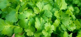 Зелень : кинза свежая