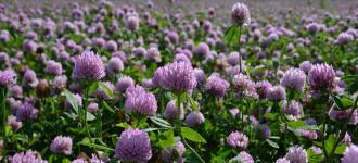 Семена многолетних трав клевер, овсяница, райграс, тимофеевка, фестололиум