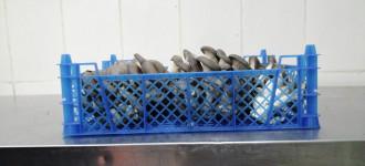 Продам грибы Вешенка свежие весовые
