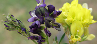 Семена люцерны Багира