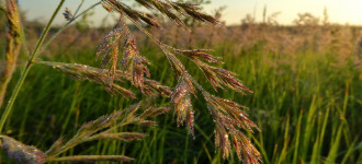 Семена суданской травы сорт Кинельская 100