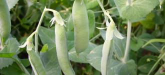 Семена гороха сорт Аксайский усатый 7