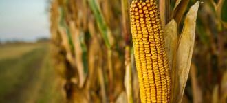 Семена кукурузы высокоурожайные гибриды